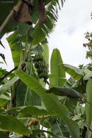 Bananenbaum mit Staude