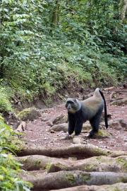 Diademmeerkatze (cercopithecus mitis) im Urwald des Kilimanjaro-NP. Marangu-Route, Tag 1