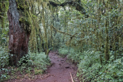 Moosbewachsene Bäume im Urwald des Kilimanjaro-NP. Marangu-Route, Tag 1