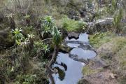 Riesenlobelien. Kilimanjaro NP, Marangu-Route