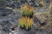 Brandspuren am Wegesrand. Kilimanjaro NP. Marangu-Route, Tag 2