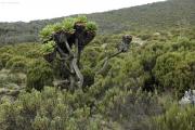 Riesen-Senecien (senecio johnstonii cottonii). Kilimanjaro NP. Marangu-Route, Tag 2