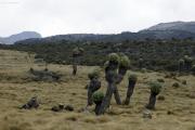Riesen-Senecien (senecio johnstonii cottonii). Kilimanjaro NP. Marangu-Route, Extra-Tag 3