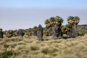 Riesen-Senecien (senecio johnstonii cottonii). Kilimanjaro NP. Marangu-Route, Tag 4