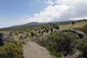 Riesen-Senecien. Kibo (verhüllt). Marangu-Route, Tag 5