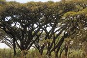 Schirmakazien. Ngorongoro Conservation Area
