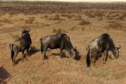 Weißbartgnus (connochaetes taurinus mearnsi). Ngorongoro Conservation Area