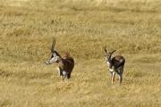 Grant-Gazellen (nanger granti). Ngorongoro Conservation Area