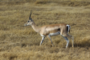 Grant-Gazelle (nanger granti). Ngorongoro Conservation Area