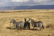 Steppenzebras (equus quagga boehmi). Büffelherde im Hintergrund. Ngorongoro Conservation Area