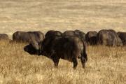 Kaffernbüffel-Herde (syncerus caffer). Ngorongoro Conservation Area