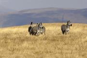 Steppenzebras (equus quagga boehmi). Ngorongoro Conservation Area