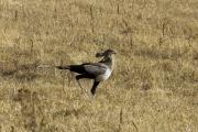 Sekretär (sagittarius serpentarius). Ngorongoro Conservation Area