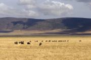 Herde von Weißbartgnus (connochaetes taurinus mearnsi). Ngorongoro Conservation Area