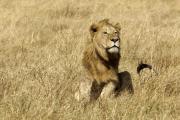 Löwe (Panthera leo). Ngorongoro Conservation Area