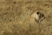 Löwin (Panthera leo). Ngorongoro Conservation Area