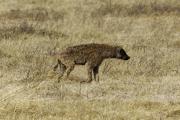 Tüpfelhyäne (crocuta crocuta). Ngorongoro Conservation Area