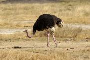 Strauss (m, struthio camelus). Ngorongoro Conservation Area