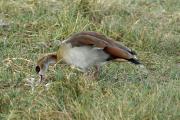 Nilgans (alopochen aegyptiacus). Ngorongoro Conservation Area