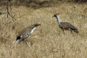 Riesentrappen (ardeotis kori). Ngorongoro Conservation Area