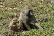 Anubispaviane (papio anubis). Ngorongoro Conservation Area
