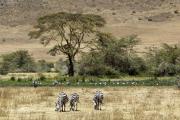 Steppenzebras. Ngorongoro Conservation Area