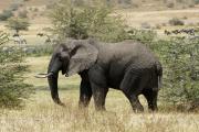 Afrikanischer Elefant (loxodonta africana). Ngorongoro Conservation Area