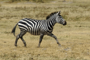 Steppenzebra (equus quagga boehmi). Ngorongoro Conservation Area