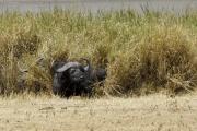 Kaffernbüffel (syncerus caffer). Ngorongoro Conservation Area