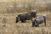 Warzenschweine (phacochoerus africanus). Ngorongoro Conservation Area