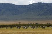 Herde aus Zebras und Gnus. Ngorongoro Conservation Area