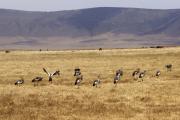 Kronenkraniche (balearica regulorum). Ngorongoro Conservation Area