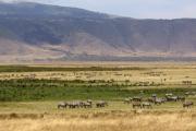 Herden aus Zebras und Gnus. Ngorongoro Conservation Area