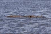 Flusspferde (hippopotamus amphibius). Ngorongoro Conservation Area