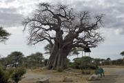 Baobab beim Eingang zum Tarangire National Park