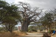 Baobab beim Eingang zum Tarangire National Park. Rechts schwarz-blau-schwarze Tsetse-Fliegenfalle