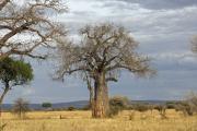 Baobab. Tarangire NP