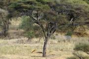 Löwin mit erlegtem Zebra. Tarangire Safari Lodge, Tarangire NP