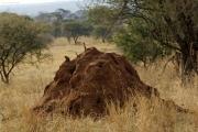 Termitenhügel mit einer Zwergmanguste. Tarangire NP