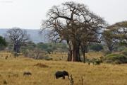 Junge Elefanten ziehen an grossen Baobabs vorbei. Tarangire NP