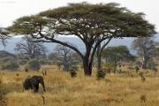 Elefant vor grosser Schirmakazie. Tarangire NP