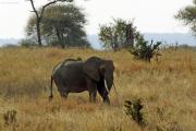 Afrikanischer Elefant (loxodonta africana). Tarangire NP
