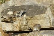 Klippschliefer (procavia capensis). Tarangire NP