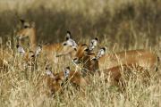 Impalas (f, aepyceros melampus). Tarangire NP