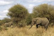Afrikanische Elefanten (loxodonta africana). Tarangire NP