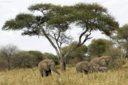 Afrikanische Elefanten (loxodonta africana) unter einer Schirmakazie. Tarangire NP