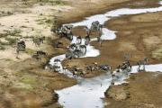 Herd aus Gnus und Zebras im Tarangire-Fluss. Tarangire NP