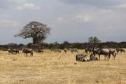 Herde aus Zebras und Gnus. Tarangire NP