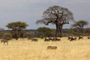 Herde aus Zebras und Gnus vor grossem Baobab. Tarangire NP