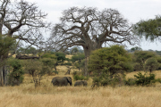 Elefanten inmitten von Baobab. Tarangire NP